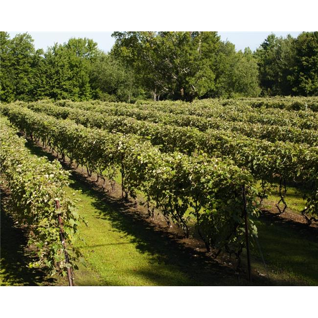 Vineyard - Dunham Quebec Canada Poster Print - 34 x 26 in. - Large - image 1 of 1