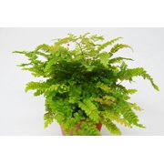 "Rosy Maidenhair Fern / 4"" Pot / Live Plant / House Plant"