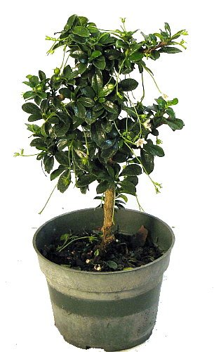 "'Mini Fukien Tea' Pre Bonsai Tree Carmona 4"" Pot Indoors, Proper name: Carmona... by"