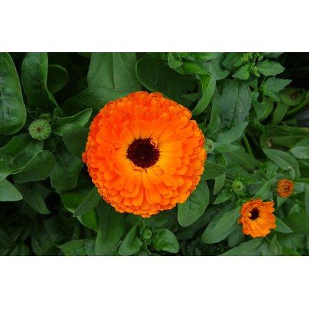 Calendula Pot (Canvas Print Pot Marigold Calendula Flower English Marigold Stretched Canvas 10 x 14 )