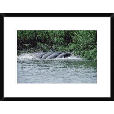 Global Gallery Bottlenose Dolphins Catching Fish On Mud Banks  Hilton Head  South Carolina Framed Photographic Print