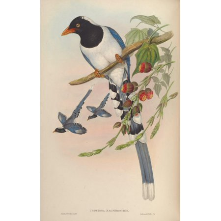 Birds of Asia 1850 Great-billed Blue Pie Canvas Art - John Gould (18 x 24)
