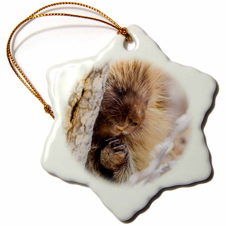3dRose Usa, Wyoming, Sublette Co., Porcupine peers from a cottonwood tree. - Snowflake Ornament, 3-inch