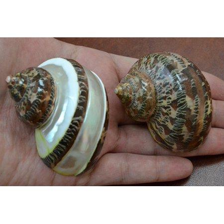 2 Pcs Petholatus Jade Turbo Sea Shell Hermit Crab 2