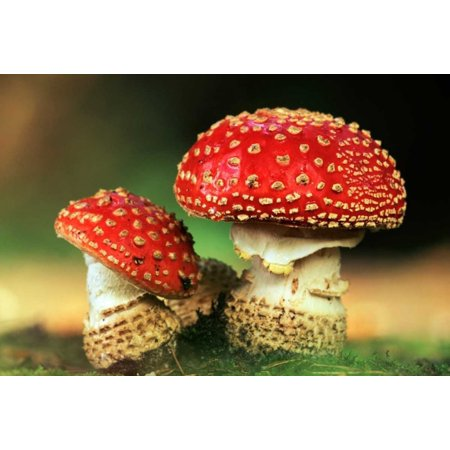 Fly Agaric pair, highly toxic, grows under pine trees, Europe Poster Print by Jan Vermeer Grow Pine Tree