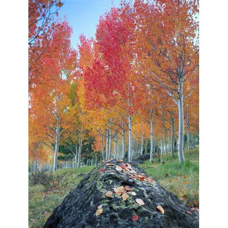 Red Aspen Grove, Boulder Mountain, Dixie National Forest, Utah, USA Print Wall Art By Scott T. Smith ()