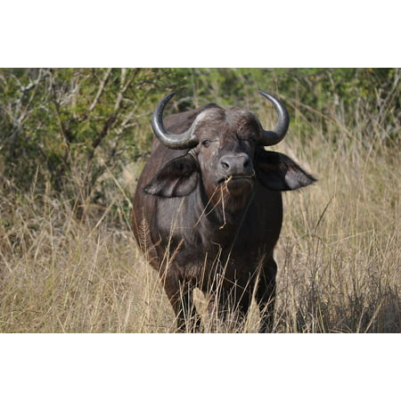 Canvas Print Landscape Nature Paradise South Africa Buffalo Stretched Canvas 10 x 14