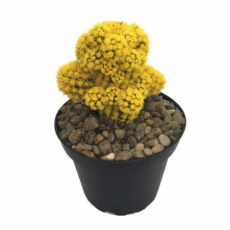 Blazing Yellow Living Desert Jewel Cactus - 4
