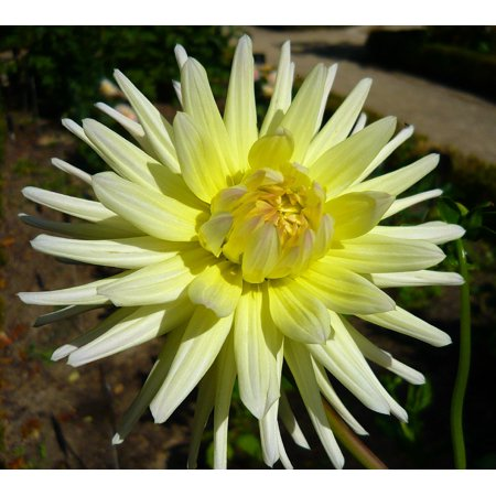 Shooting Star Cactus Dahlia - Creamy Yellow! - #1 Size Root Clump