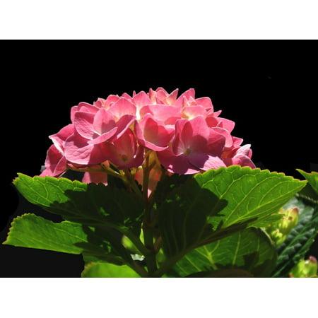 LAMINATED POSTER Summer Bloom Nature Flora Hydrangea Full Bloom Poster Print 24 x