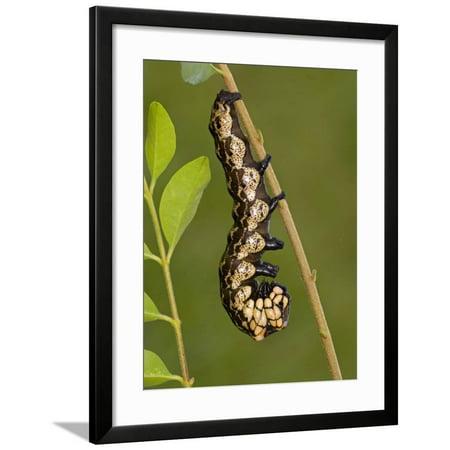 Owl Moth Caterpillar Crawling on a Twig (Brahmaea Certhia) Framed Print Wall Art By Leroy Simon