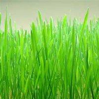 Hard Red Winter Wheat Seeds - 50 Lbs Bulk - Non-GMO, Organic Sprouting Grain & Wheatgrass Seeds