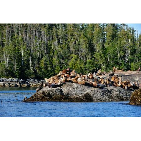 Sea Lions in Great Bear Rainforest, British Columbia, Canada, North America Print Wall Art By Bhaskar