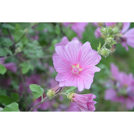 LAMINATED POSTER Hibiscus Flowering Pink Botany Color Pink Plant Poster Print 24 x 36