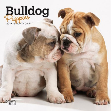 2019 Bulldog Puppies Mini Wall Calendar, by BrownTrout
