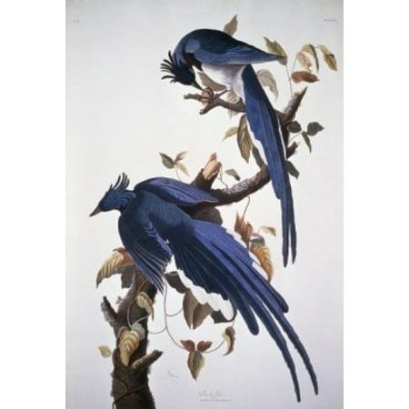 Columbia Jay John James Audubon National Gallery Of Art Washington Dc Poster Print