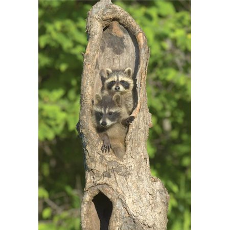 Posterazzi DPI1787701LARGE Baby Racoons in Hollow Tree Poster Print by John Pitcher, 22 x 34 - Large - image 1 of 1