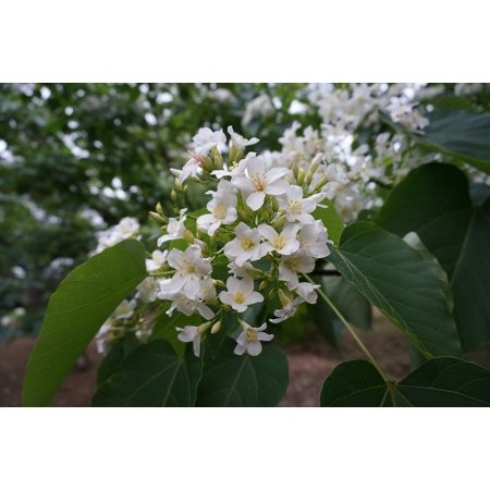 Canvas Print White Flower Tung Trees and Flowers Flowering Stretched Canvas 10 x - White Flowering Tree