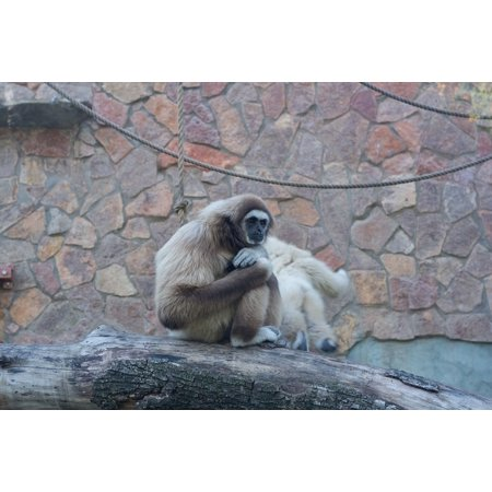 Canvas Print White Monkey Tree Sitting Gibbon Stretched Canvas 32 x