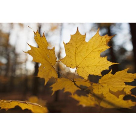 Posterazzi DPI12290368LARGE Golden Coloured Maple Leaves in Autumn - Brampton Ontario Canada Poster Print by Ron Bouwhuis, 36 x 24 - Large - image 1 of 1