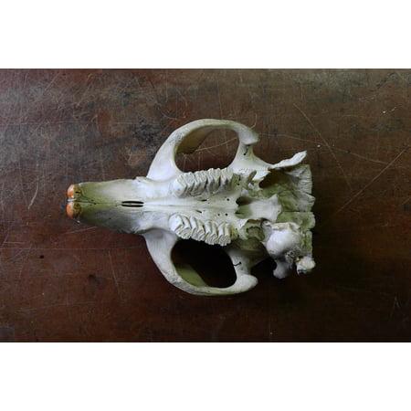 Canvas Print Animal Skull Skeleton Maxilla Anatomy Teeth Skull Stretched Canvas 10 x 14 (Teeth Skeleton)