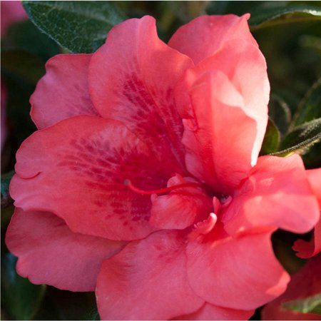 Encore azalea autumn princess salmon pink blooms walmart encore azalea autumn princess salmon pink blooms mightylinksfo