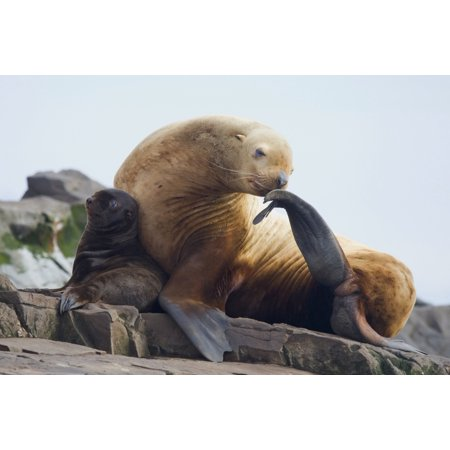 Steller Sea Lion Female And Young Pup Hauled Out On Rock With Female Scratching With Fin Prince William Sound Southcentral Alaska Summer Posterprint