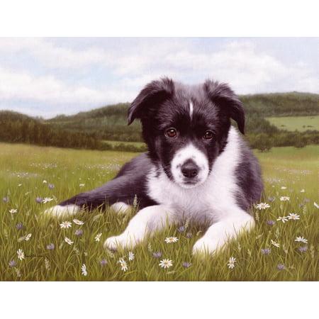 Border Collie Puppy Rolled Canvas Art - Rachel Stribbling (12 x 6)