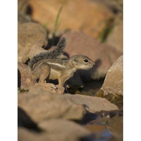 Harris Antelope Squirrel Print Wall Art By Jack Michanowski