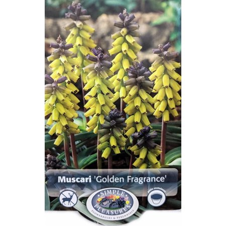Golden Fragrance Grape Hyacinth 3 Bulbs - Muscari - 9/+ cm Bulbs Grape Hyacinth Bulbs