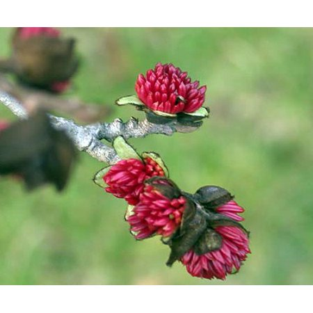 Hardy Tree (Rare Persian Ironwood Tree - Parrotia  persica - Very Hardy - Quart)