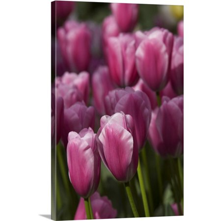 Great BIG Canvas | Cindy Miller Hopkins Premium Thick-Wrap Canvas entitled Tulips at the Kuekenhof Gardens, Lisse, (The Netherlands Tulips)
