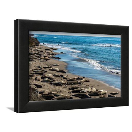 Elephant Seals on the beach, Piedras Blancas, San Simeon, California, USA Framed Print Wall Art