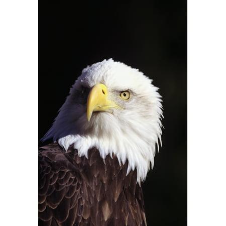 Alaska Eagle (Alaska Tongass National Forest Closeup Of Bald Eagle (Haliaeetus Leucocephalus) Canvas Art - John Hyde  Design Pics (11 x 17) )