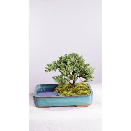 Green Mound Juniper Bonsai (Brussel's Green Mound Juniper Bonsai in Water Pot - Not Sold in California )