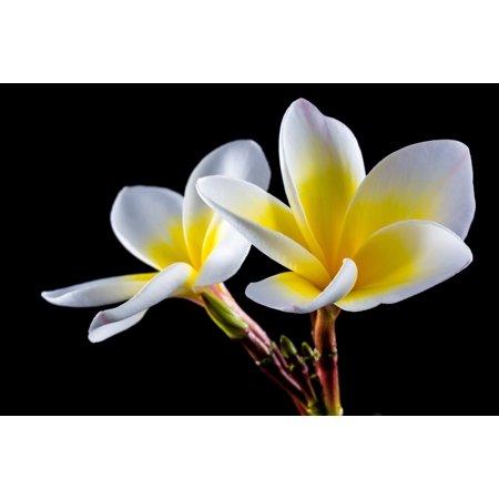 LAMINATED POSTER Bloom Plumeria White Flower Frangipani Blossom Poster Print 24 x 36