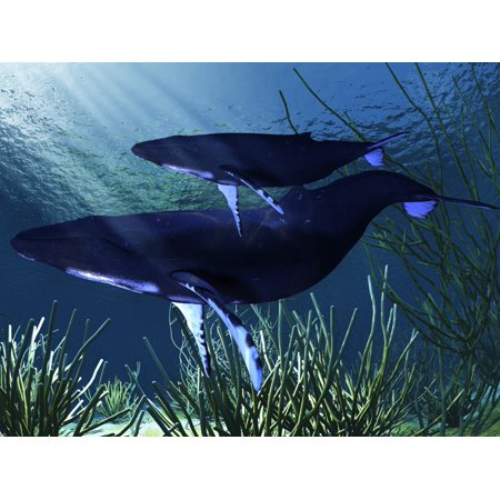(A mother humpback whale swims with her baby calf Stretched Canvas - Corey FordStocktrek Images (17 x 13))