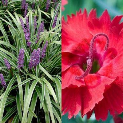 Classy Groundcovers - Catherine's Vibrant Border, 20% off: 25 Lily Turf 'Variegated' + 50 Border Pinks 'Fire Star'
