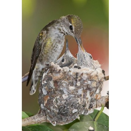 Anna's Hummingbird Feeds Chicks in it's Nest Print Wall Art By Hal Beral