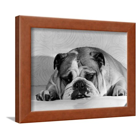 Bruce the Old English Bulldog Not Feeling His Best, November 1978 Framed Print Wall