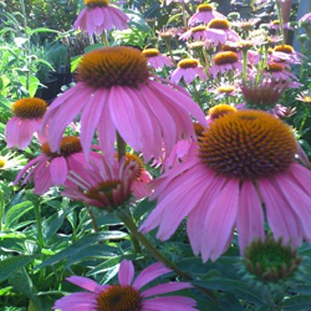 Purple Coneflower, Lavender Summer Flowers, Live Perennial for Full Sun and Dry Soil in a 1 gallon pot, USDA Plant Zones 3,4,5,6,7,8,9