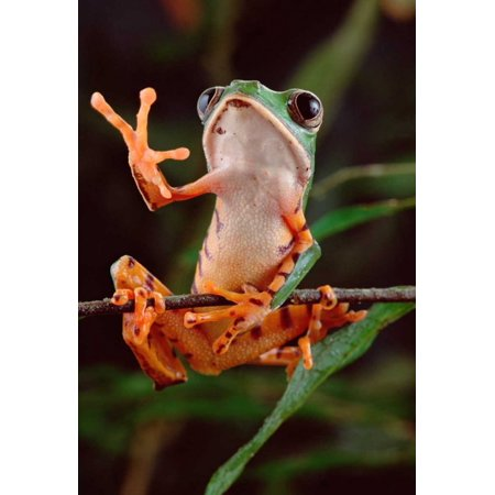 Tiger-striped Leaf Frog also known as Barred Leaf Frog waving Amazon rainforest Brazil Poster Print by Claus Meyer