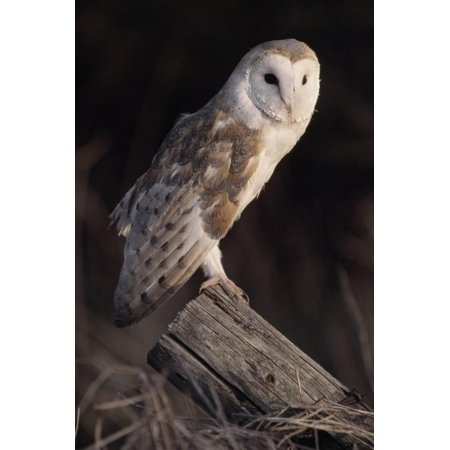 Barn Owl (Tyto Alba) Adult Perched on Fence Post at Dusk, Captive, Scotland, UK, March Print Wall Art By Laurie Campbell - Fence Post Art