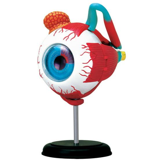 4d Human Eyeball Anatomy Model Walmart
