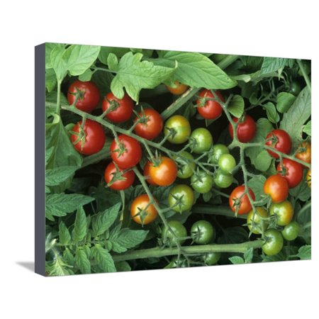 Cherry Tomatoes, 'super Sweet 100' Variety, Green, Ripe, and Ripening Stretched Canvas Print Wall Art By Wally Eberhart