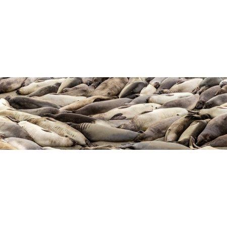Elephant Seals on the beach Piedras Blancas San Simeon California USA Poster Print by Panoramic Images (36 x 12)