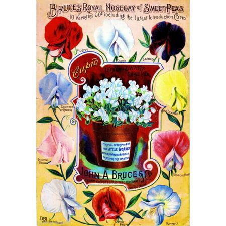 Sweet Pea Wedding Flowers - Nosegay Sweet Peas Vintage Flowers Seed Packet Catalogue Advertisement Poster