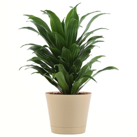 Delray Plants Janet Craig (Dracaena) Easy to Grow Live House Plant on house people, house candy, house decorations, house ferns, house cars, house chemicals, house plans, house gifts, house vines, house family, house slugs, house design, house flowers, house rodents, house fire, house crafts, house home, house nature, house stars, house mites,