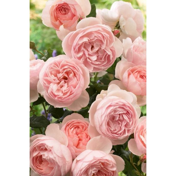 Rose Heritage Variety Flowers Poster Print By Visionspictures 24