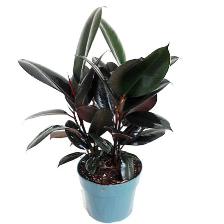 Burgundy Rubber Tree Plant - Ficus - An Old Favorite - 6
